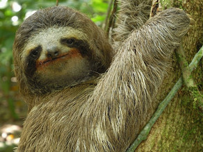 CHILLED OUT FACTS ABOUT SLOTHS ... FEELING LAZY YET ?