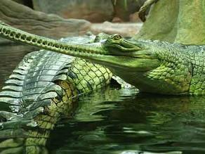 How India's fresh water crocodile  managed to bounce back in numbers : Ghariyals of Gandak