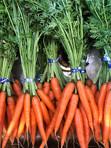 Freshly dug and cleaned carrots