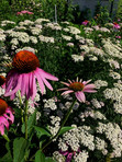 Purple cone flower and yarrow lining our flower beds