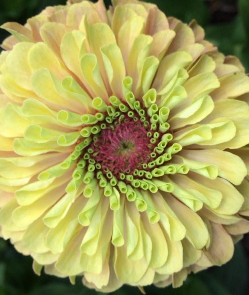 Blush-colored zinnia flower