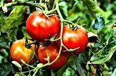 tomatoes-vine_edited.jpg