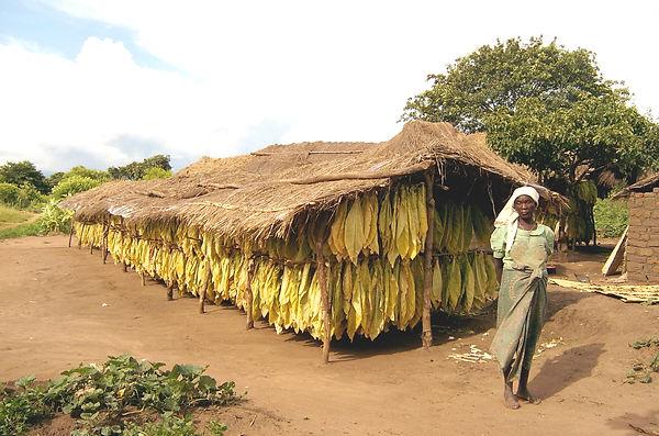 tobacco drying malawe