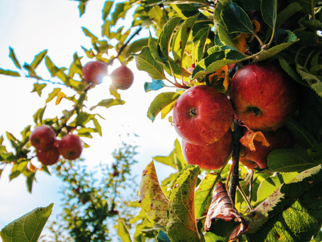 Top 5 Apple Picking Hotspots in the Bay Area