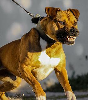 Rééducation chien agressif Pessac Bordeaux