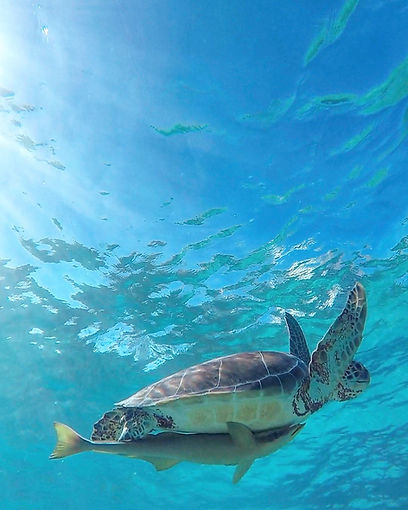 Green turtle swimming in the wild