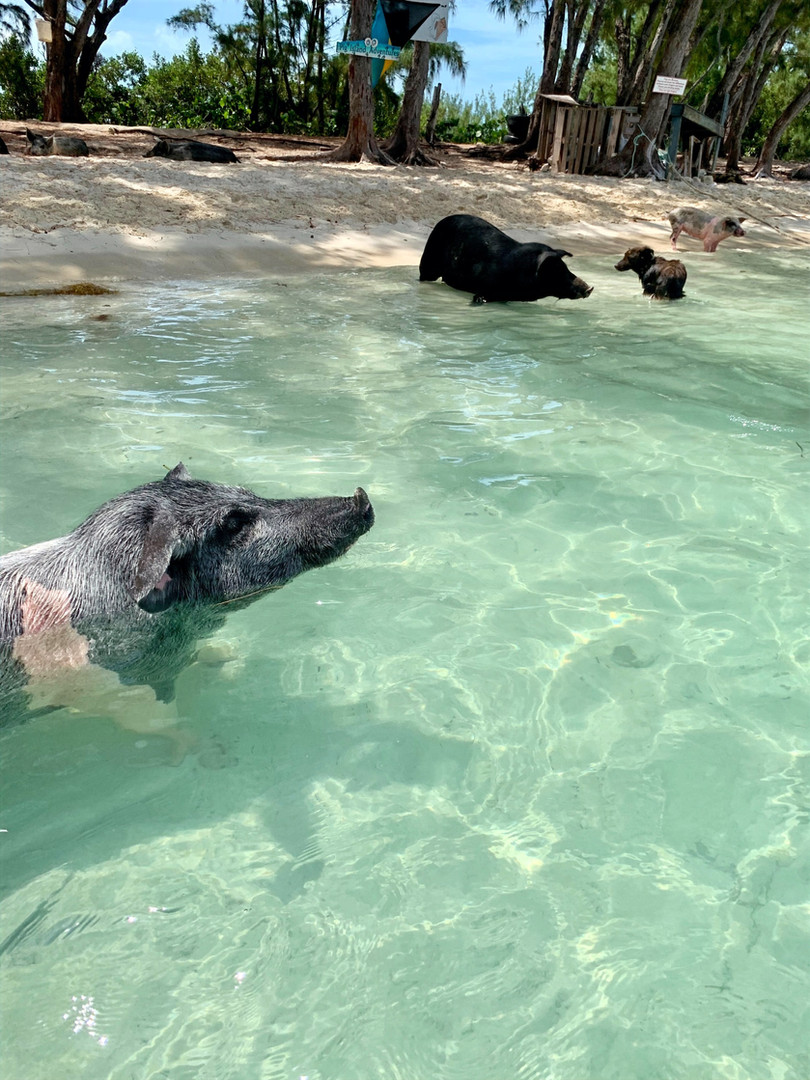 swimming pigs meeks patch eleuthera