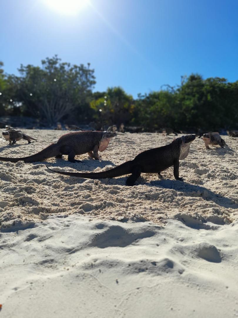 Iguanas at Allens Cay, Exuma