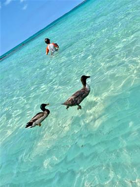 swimming ducks eleuthera bahamas