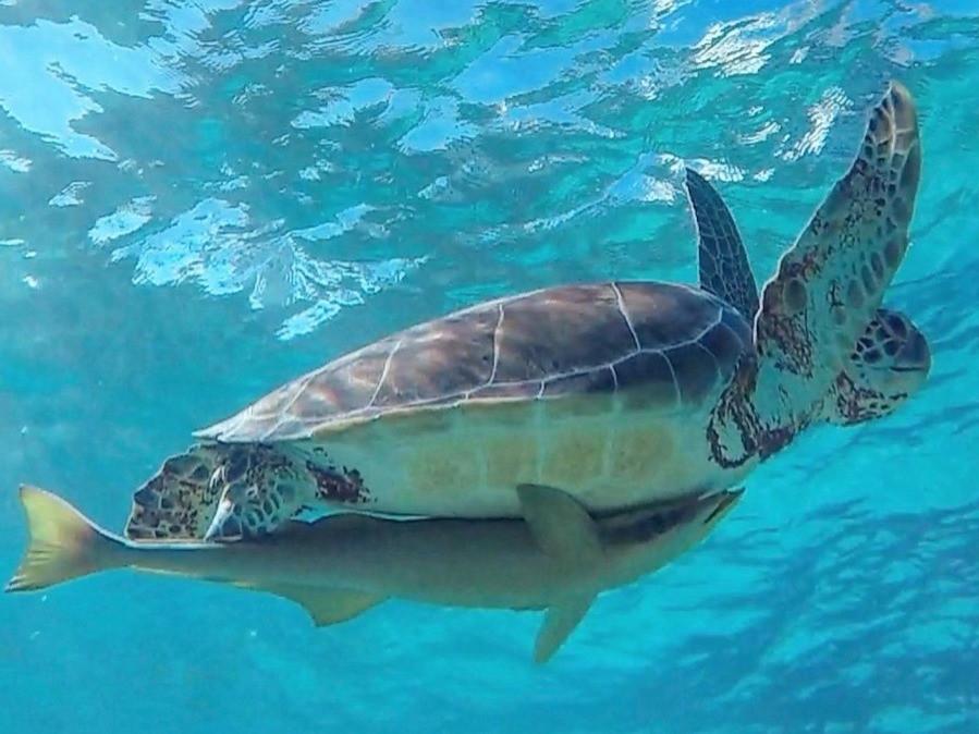 green turtle swimming at Green Cay, Bahamas