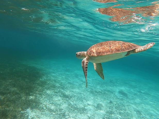 Wild green turtle swimming
