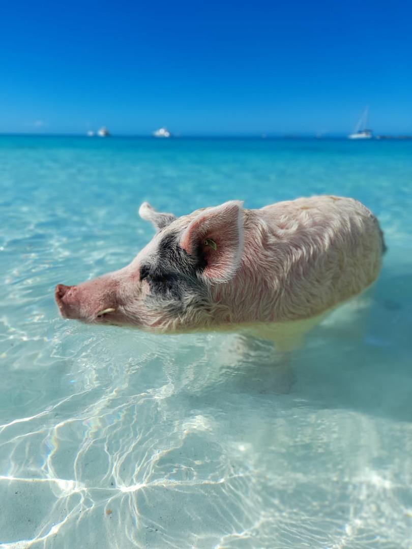 Exuma swimming pigs
