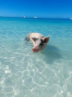Exuma swimming pig at Big Majors Cay