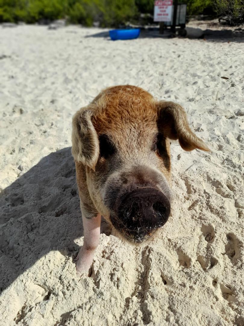 Exuma swimming pig on the beach