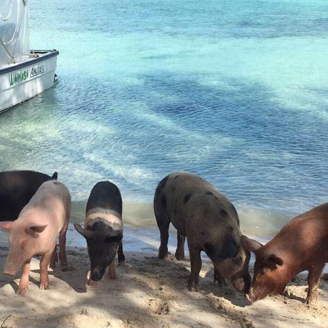 pigs spanish wells 4.jpg