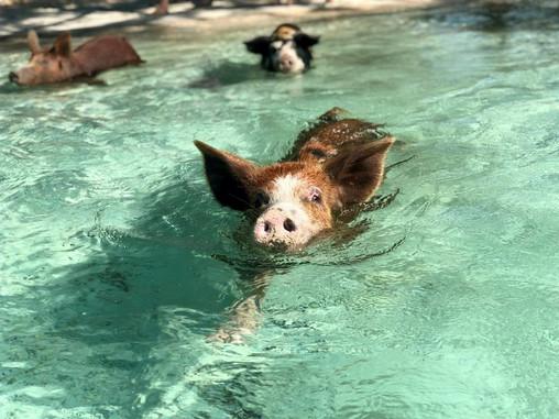 swimming pigs in eleuthera bahamas