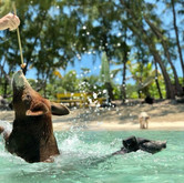 pig jumping for food out of the water