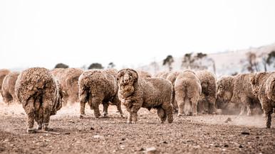 Dusty Ram.jpg