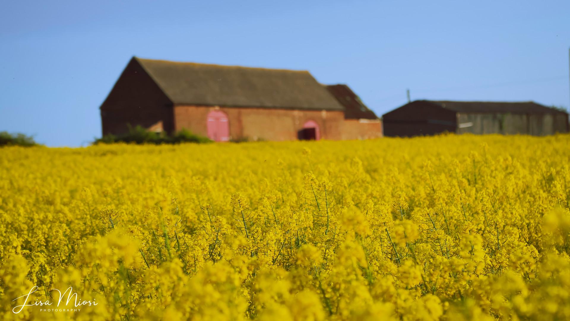 Haddon Spring Rapeseed_8 (1 of 1).jpg