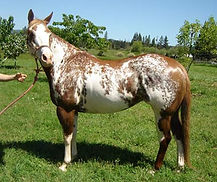 Independent Pinto Horse Society