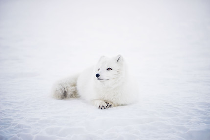 White Husky laying on the sand