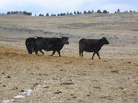 Wintering cows.jpg