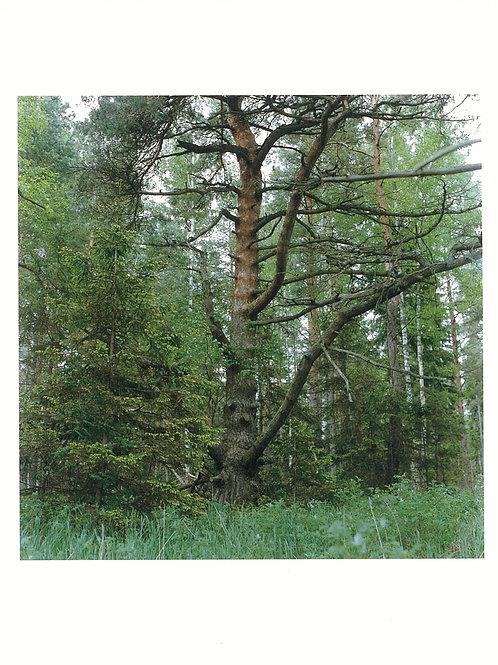 かくたみほさんポストカード「大きな木」