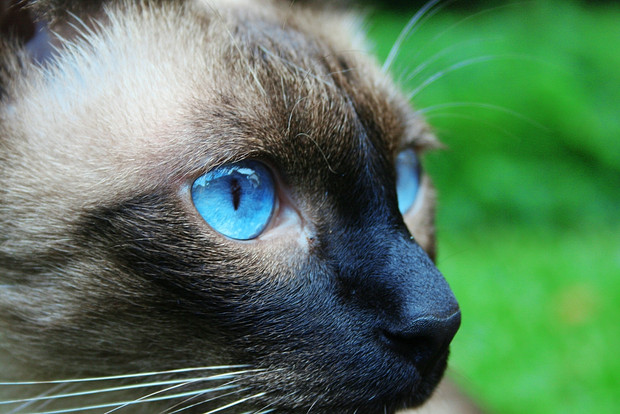 National Siamese Cat Day:  'Purrfect' holiday celebrates magnificent Meezers