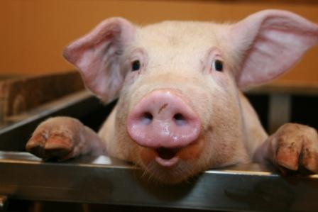Yellow Pig Day:  A Real Porker of a Holiday!