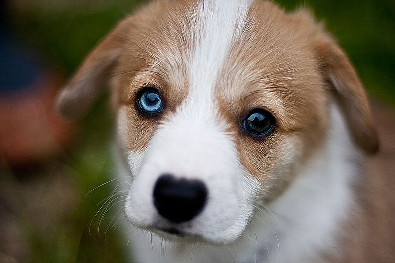 DogEyesHeterochromiaJoeyGannonWiki.jpg