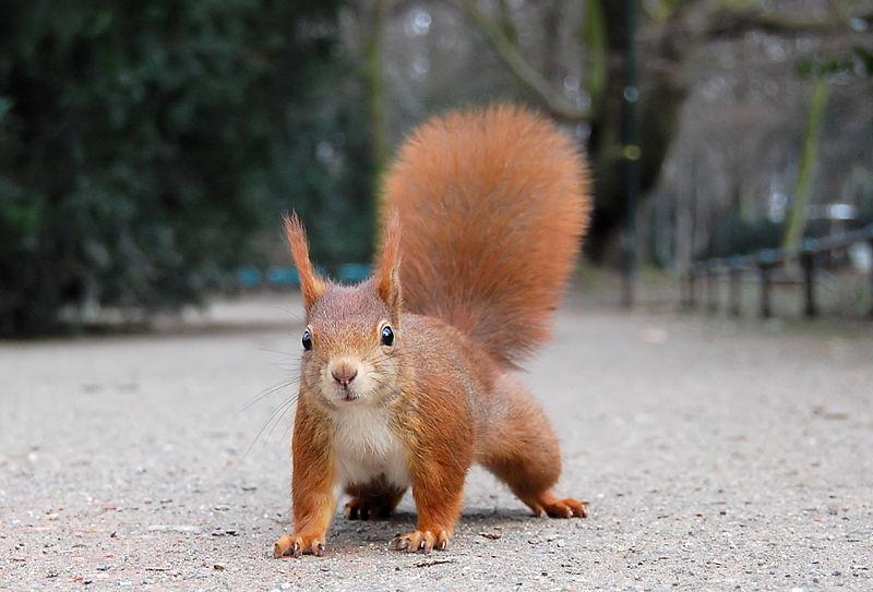 SquirrelRayEyeWiki.jpg