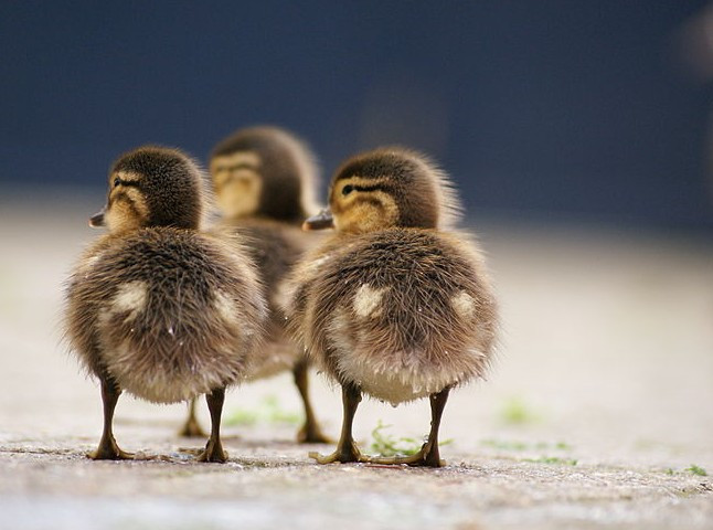 DucksJannesPockeleWiki.jpg