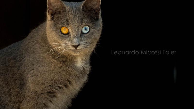 CatEyesHeterochromiaLeonardoMicossiFalerWiki.jpg