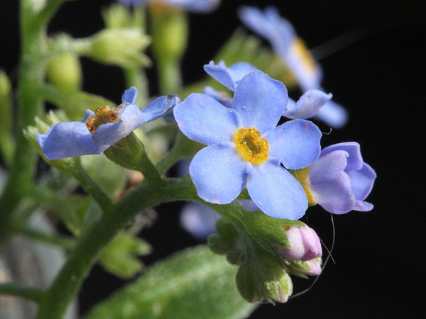 It's Forget-Me-Not Day:  Don't Forget!