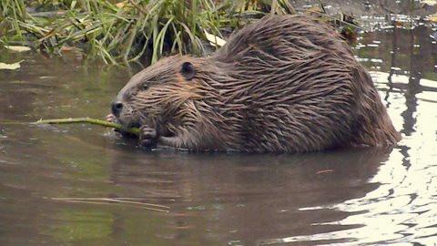 International Beaver Day:  Celebrating Beavers Around the World