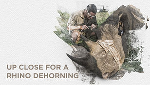 14 rhino dehorning website.jpg