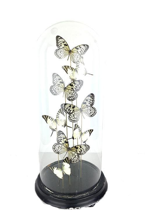 zwart wit vlinder, vlinder in stolp, antieke stolp