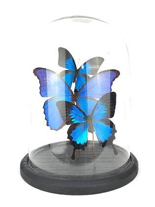 Vlinder in stolp, vlinders in stolp, opgezette vlinders, glazen stolp, Antwerpen, Rarity pop