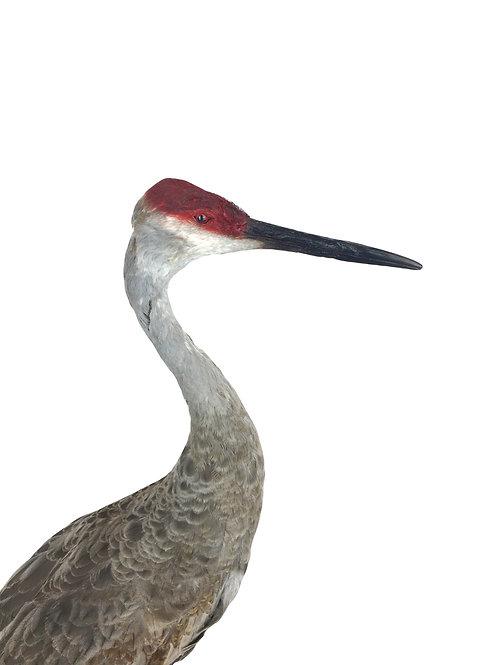 taxidermie, kraanvogel