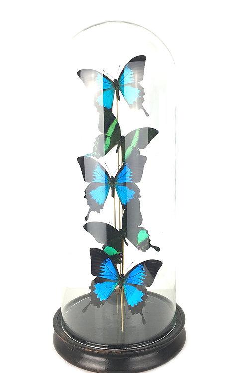 vlinder in stolp, taxidermie, vlinders, stolp