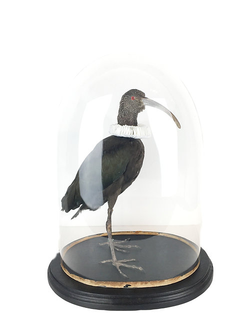 taxidermie, ibis, stolp