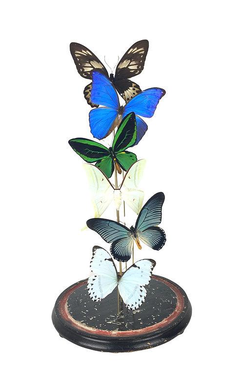 vlinders in stolp, vlinder in stolp, vlinders, taxidermie