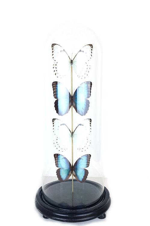 vlinders in stolp, taxidermie, vlinders, morpho