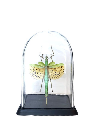 insecten in stolp, entomologie, Rarity pop, Antwerpen, webshop, glazen stolp, Kloosterstraat, kevers in stolp