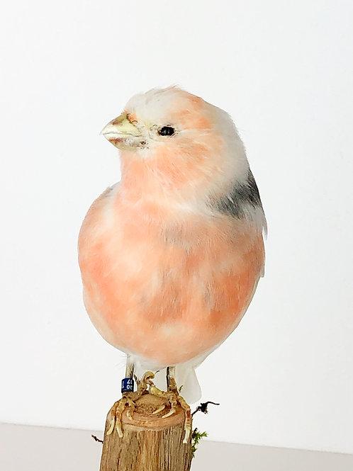 Pink vink