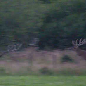 Wild boar and red deer
