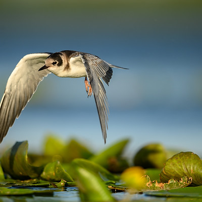 Lithuania, floating hide