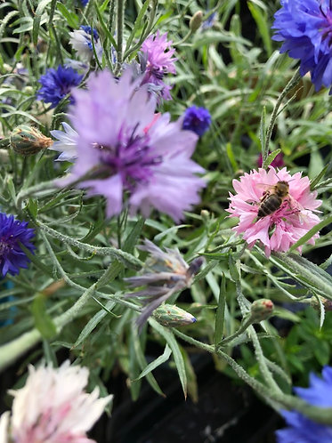 Packet of 20 mixed Cornflower seeds