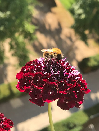 """Packet of 20 Scabious """"Black Knight"""" seeds."""