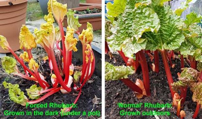 Rhubarb Ten Ways